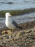 Lake Erie Seagull by Avalon-Angel