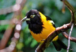 I'm Always Angry - Venezuelan Troupial by AzureWindProductions