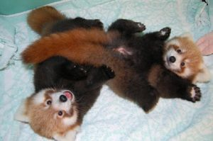 Red Panda cubs by onemanwolfpack123
