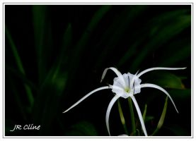 A lily in my front garden by eskimoblueboy