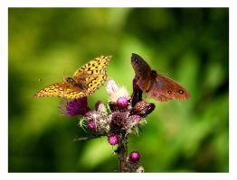 two butterflys by malindi