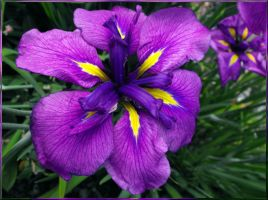 Incredible Iris II by Photos-By-Michelle