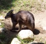 Wallaby by prettynikkers