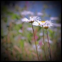 Of A Daisy Dreamland by TeaPhotography