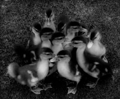 DUCKS by ratfink305