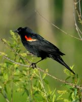 Red Winged Blackbird by RENCG