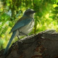 Baby Blue Jay by MartaEmi