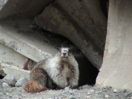 """I am Marmot"" by LesInvisibles"