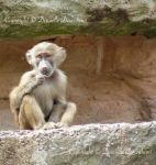 Young Baboon by RossoCorvino