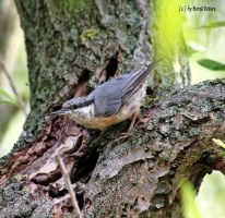 Kleiber  Nuthatch 8 by bluesgrass