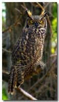 Great Horned Owl by zargag