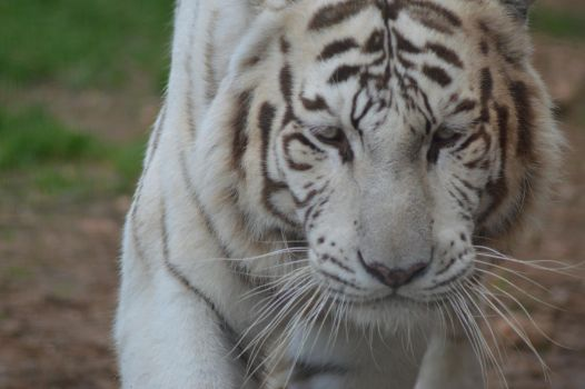 White Tiger 3 by decolesse-stock