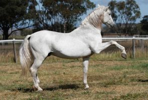 Andalusian stallion Spanish walk by xxMysteryStockxx