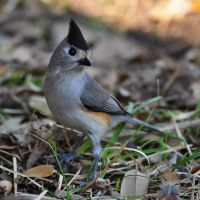 Black-crested Titmouse 8081 by robbobert