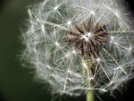 Dandelion by Jtother777