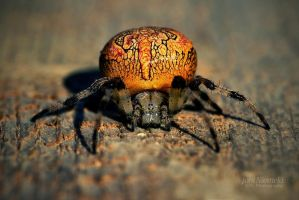 Orange Cross Spider by JoniNiemela