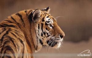 Amur tiger by Bormi