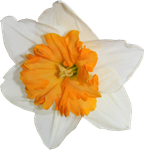 Daffodil PNG 01 by Thy-Darkest-Hour