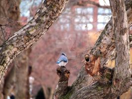 Blue Jay in Boston Commons by Metalmixer