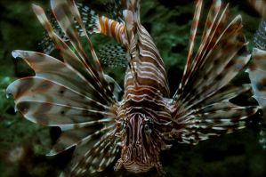 Lion Fish Zebra Fish by Misty-Dawn