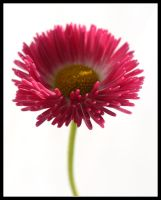 Pink Daisy 2 by kanes