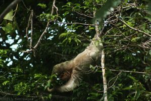 Sloth Costa Rica by TimberClipse