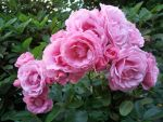 Pink Rose Clump 1 by MahniAliceSkaggs