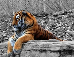 Siberian Tiger I crop by Vital-Defect