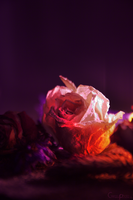Rose by Creazyfreak