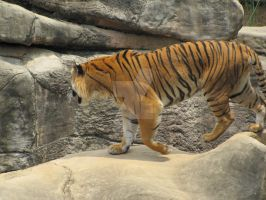 Malayan Tiger- Little Rock Zoo by ladybeastcharmer