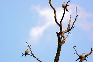 3 pigeons sitting in a tree by LubelleCreativeSpark