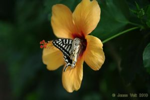 Butterfly by friedapi