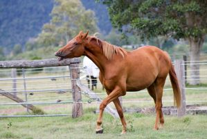 Dn wb chestnut side funny view by Chunga-Stock