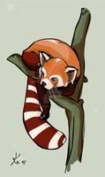 red Panda by kinkei