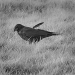 Crow 0250 by filmwaster