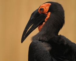 ground hornbill II by filthyhandss