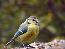 Autumn Blue Tit by FreyaPhotos