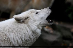 Hudson Bay Wolf 130 by Canisography