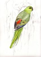 Red-rumped Parrot - hollow by Sasquatch69