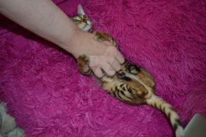Bengal Playing by Spiremagus-Esquire