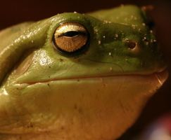 Green tree frog by Sharmos