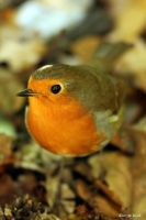 Resident Robin by George---Kirk