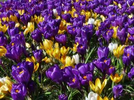 crocuses by Dieffi
