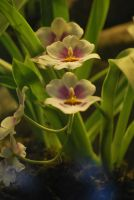 miltonia orchid 1 by meihua-stock