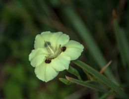 Bicolor Dietes by ShlomitMessica