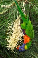 Lorikeet in grevillea 1 by wildplaces