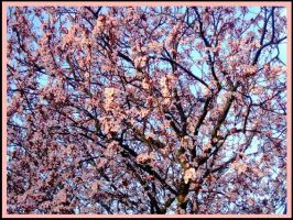 Cherry Blossoms by AussiePrideForever