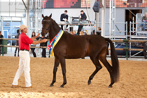Austrian Warmblood Mare_9 by CalyHoney