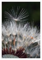 Dandelion_closeup by Skys0
