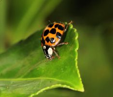 Ladybird by Vitaloverdose